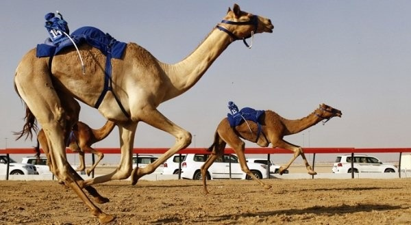 Camel racing in dubai in coming soon in uae camel racing in dubai coming soon in uae comingsoon altavistaventures Choice Image