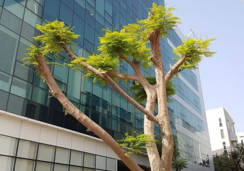 Blooming tree in Dubai Media City