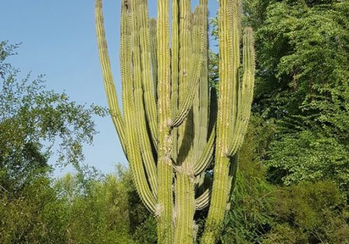 Giant Cactus at Dubai Creek Park